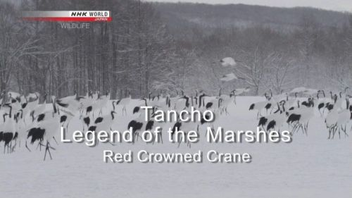 NHK Wildlife - Tancho, Legend of the Marshes Red Crowned Crane (2013) 720p HDTV x264-MVGroup