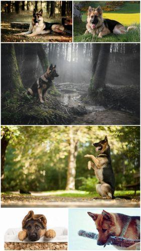 HD German Shepherd photography